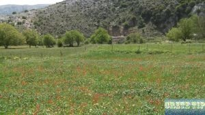 large fields with red flowers