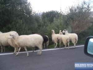 Sheep on the road in Crete.